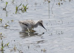 Avocet chick (Lancs & Lakes Outback Adventure Wildlife Safaris) Tags: chick avocet