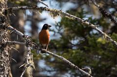 American Robin, Monchy Woods Road (frank.king2014) Tags: ca canada americanrobin gander newfoundlandandlabrador