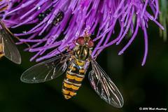 Hoverfly_Episyrphus balteatus02.jpg (T9FURY) Tags: july hoverfly rutlandwater 2016 episyrphusbalteatus