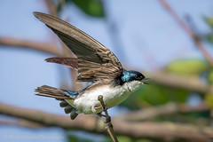 Tree Swallow (Kevin James54) Tags: 7dmarkll canon7dll kevingiannini peacevalleypark animals avian bird kevingianniniphotocom swallow tachycinetabicolor treeswallow
