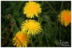 Gewhnliche Lwenzahn (Taraxacum sect. Ruderalia) (t1p2m3) Tags: flower fleur yellow jaune gelb lwenzahn wildblume taaxacum