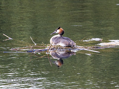 Great Crested Grebe On Nest (kazmorris) Tags: nature water birds nest egg grebe pennington