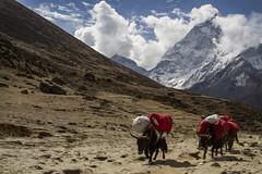 Yaks (Adept Photography) Tags: nepal stupa monastery nepalese yaks everest himalayas 2016 tengboche stupas