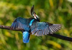 Kingfisher Female Alcedo atthis 047-1 (cwoodend..........Thanks) Tags: 2016 brandon brandonmarsh steetleyhide westmarshpool wwt warwickshirewildlifetrust kingfisher kingfisherfemale alcedoatthis