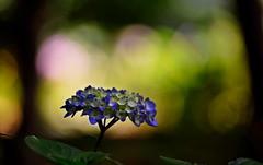 flower 934 (kaifudo) Tags: sapporo hokkaido japan botanicalgarden flower hydrangea      nikon d750 nikkor afs 70200mmf28gedvrii 70200mm