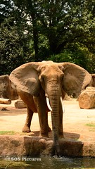 African Elephant (lastsonofsteel) Tags: south carolina southcarolina riverbankszoo columbia columbiasc colorful animals reptile snakes lorikeets elephant lion grizzly bear flowers lizard fish hamadryas baboon cobra spitting red koala vanishing point carribean flamingo lsospictures