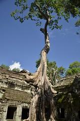Angkor Thom/Ta Prohm (...Ola_S...) Tags: southeastasia cambodia camboya kambodsja angkorthom angkoriantemples taprohm tree tre roots rtter temple tempel ruins ruiner worldheritageunesco nikond7000
