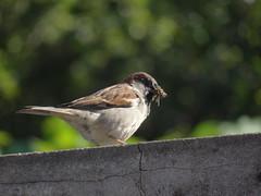DSC05813 Pardal (familiapratta) Tags: sony dschx100v hx100v iso100 natureza pssaro pssaros aves nature bird birds novaodessa novaodessasp brasil