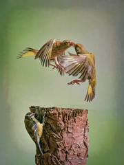 Fighting Greenfinches. (Free the Image) Tags: birds action bird birdaction fightingbirds greenfinches