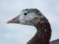 Canada x Greylag Goose hybrid (Branta canadensis x Anser anser) (ekroc101) Tags: birds canadagoose brantacanadensis domesticgoose greylaggoose anseranser bc vancouver stanleypark