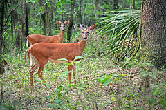 White-tailed deer in Bolen Bluff (zgrial) Tags: deer whitetailed wildlife bolenbluff paynesprairie micanopy florida usa summertime naturalpreserve statepark zgrial