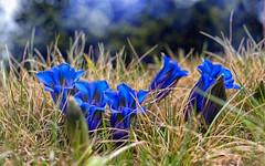 Blau blht der Enzian (novofotoo) Tags: alpen berge blau blumen blte clusiusenzian echteralpenenzian enziangewchse flowers gentianaclusii kalkglockenenzian makro natur stngelloserkalkenzian blue macro moutains nature