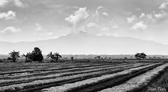 Paddy Rice Field (rizalfaridz) Tags: ledang mountain sawah paddy field cultivated blackandwhite
