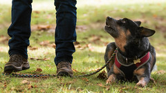 Ahem, human .... you are standing on my leash (FocusPocus Photography) Tags: hund dog tier animal fsse feet schuhe shoes haustier pet