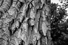 Thick Bark on a Very Old Tree (brucetopher) Tags: tree bark deep shadow tone big old ancient black white blackandwhite bw blackwhite monochrome relic wise knowledge