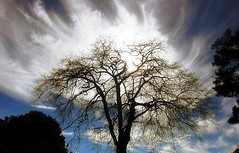 Ghostly canopy (TJ Gehling) Tags: plant tree fagales betulaceae alnus alder aldertree sky clouds cloudporn sun canyontrailpark elcerrito
