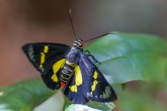 Regent Skipper: Euschemon rafflesia (gecko47) Tags: insect butterfly lepidoptera flat pyrginae regentskipper euschemonrafflesia colourful tamborinemountainbotanicgardens mttamborine eagleheights scenicrim macro