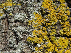 Lichen on tree (Odd Wellies) Tags: sy6988 winterbornefarringdon lichen tree
