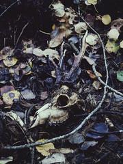 Skull of a deer (hogbergphotography) Tags: nikon skull j1 forest death deer nature natur sweden nikonj1 skog 18 skalle dd rdjur