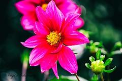 flower (Priyahari K) Tags: ooty