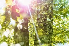 Park Life 37 (pni) Tags: leaf tree light trunk branch multiexposure multipleexposure tripleexposure tlnlahti tlviken helsinki helsingfors finland suomi pekkanikrus skrubu pni