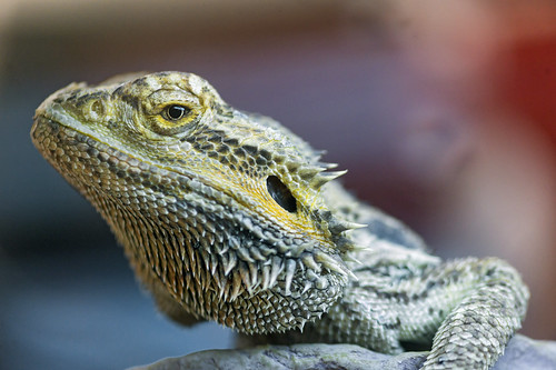 One of the two reptiles