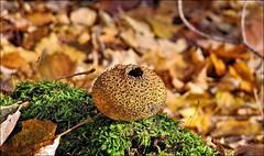 Puffball --- Stubling --- Bejn (Walkuere123) Tags: parrysound fungi pilze puffball hongos lycoperdaceae bejn stubling canonsx50