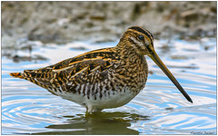 Beccaccino (Fausto Deseri) Tags: wild nature birds wildlife snipe gallinagogallinago beccaccino nikontc17eii nikkorafs300mmf4 oasiditivolimanzolino nikond7100 sitodimanzolino