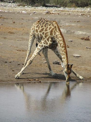 Girafe, Namibie