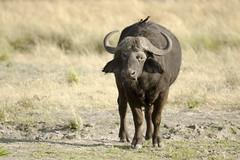 Put a Bird on it (Pamela Saunders) Tags: africa buffalo safari cape botswana chobe bigfive big5