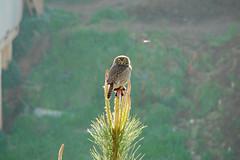 El chuncho (fmateluna_90) Tags: chile bird landscape valparaiso paisaje el ave owl hunter postal pajaro scavenger carnivore valpo bho cazador carnvoro carroero chuncho
