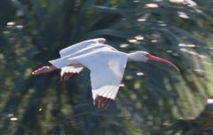 _AAB1678.jpg (Lake Worth) Tags: bird nature birds animal animals canon wings florida wildlife feathers wetlands everglades waterbirds southflorida 2xextender sigma120300f28dgoshsmsports