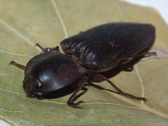 Elateridae Agrypninae>Anthracalaus? Brown click beetle DSCF6157 (Bill & Mark Bell) Tags: exmouth westernaustralia australia geo:town=exmouth geo:state=westernaustralia geo:country=australia geo:lon=11425453egeolat2217752sgeoalt8m 11425453e2217752salt8m taxonomy:kingdom=animalia animalia taxonomy:phylum=arthropoda arthropoda taxonomy:class=insecta insecta taxonomy:order=coleoptera coleoptera taxonomy:family=elateridae elateridae taxonomy:genus=anthracalaus anthracalaus taxonomycommonnamebrownclickbeetle brownclickbeetle insect animal fauna beetle