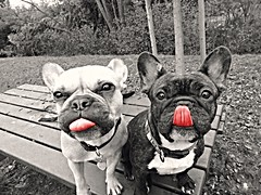 10805659_406873192795594_8165732617862848913_n (Morgane C. Photographies) Tags: dog chien bulldog langue bouledogue
