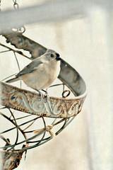 sweetweet 15 115 (EllasEdge) Tags: bird song snack treat tweet bestill52 frenchdoorfeeder15