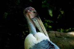 アフリカハゲコウ / Marabou (kimtetsu) Tags: bird japan zoo 大阪 日本 osaka 動物園 marabou 鳥 tennojizoo 天王寺動物園 アフリカハゲコウ