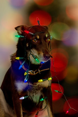 20 Days until Christmas (aussiegall) Tags: christmas dog lights ally canine rescuedog