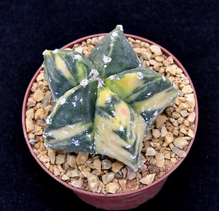 3-b Astrophytum myriostigma hakuun variegata-d.7cm-h.5cm
