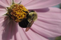 Bumble Bee on Pink Cosmos (Curt Robbins) Tags: pink ohio flower macro closeup garden insect flying wings backyard fuzzy bee bumblebee annual bumble cosmos fuzz stow macrophotography pollenate