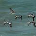 Os pelicanos majestosos