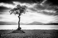 Millarochy Tree (wilsn photographics) Tags: lake tree water mono bay scotland oak pebbles september loch 2014 millarochy wilsonphotographics
