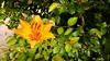 AdobePhotoshopExpress_a931358ea6e84abcac1ae90d4492eac9 (Linus_west) Tags: summer orange flower blomma sommar leav
