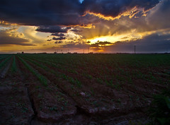 Yong Corn At Sunset (Tom Herlyck) Tags: light sunset sky beautiful field clouds landscape amazing corn colorado cloudy farm cornfields bigsky rays storms goldenlight pueblocounty southeastcolorado