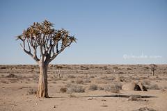 Strani alberi (cocciula) Tags: africa trip travel namibia paesaggi viaggio vacanza deserto 2014 meraviglia incredulit 3400km duegiridiruote