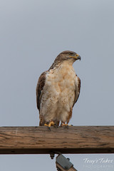 Watchful Ferruginous Hawk