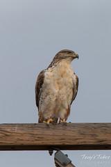 Watchful Ferruginous Hawk