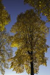 Maple Magnificent (Rod Raglin) Tags: trees sunshine yellow vancouver golden bluesky stunning mapletree awe magnificent array stately 300yearsold preside acermacrophyllum autumnbeauty bigleafmaples 50metreshigh groveofeight largestmaple splendorkensington