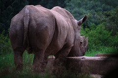 Rhino (damaru) Tags: animals share nikkorseriese100mmf28