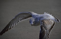 Gull #1227 (Paul Metaxas) Tags: bird beach newjersey seagull gull asburypark shore atlanticocean birdphotography nikondslr paulmetaxas nikond750 nikon28300mmzoomlens