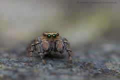 Evarcha falcata (Riccardo Cavalcante) Tags: spider sweet valle cervo salticide